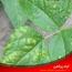 شناسایی و کنترل بیماری گیاهی زنگ لوبیا