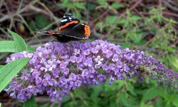 07-Buddleja_davidii-butterfly-bush