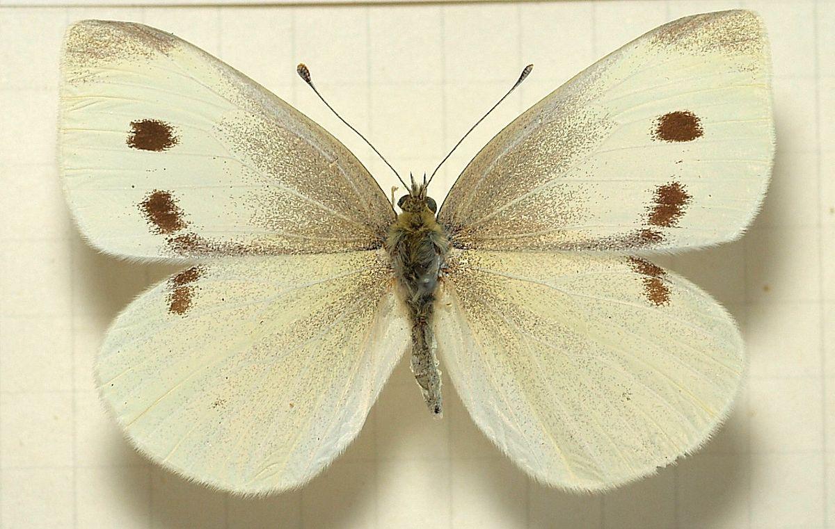 آفت کلمیان – سفیده ی کوچک کلم