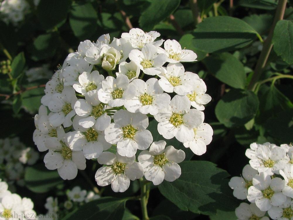 معرفی درختچه ی اسپیره (گل عروس ) Spiraea crenata
