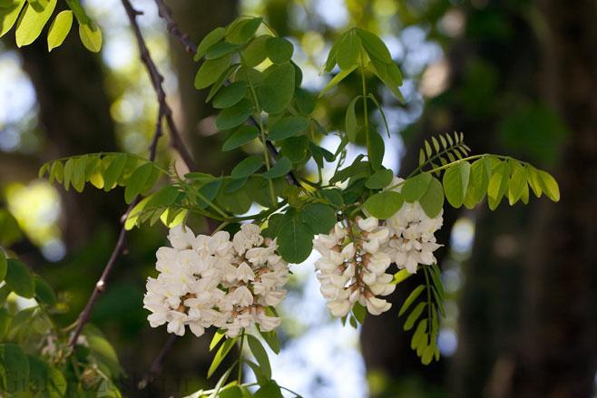 معرفی درخت اقاقیا – Robinia pseudoacania L