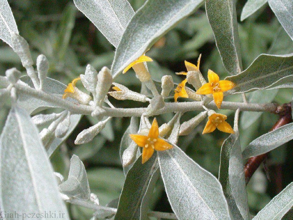 معرفی درخت سنجد – Elaeagnus angustifolia