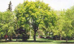 افرای سیاه , درخت افرای سیاه ,تصویر افرای سیاه