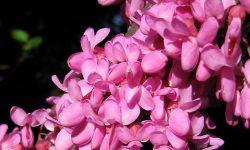 Cercis_Siliquastrum_blossom_closeup