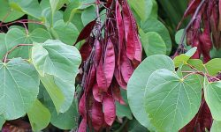 Cercis_siliquastrum__Judas_tree