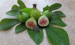 Fig-Conadria