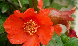 Punica-granatum-Pomegranate1