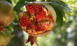 Punica_granatum_flower