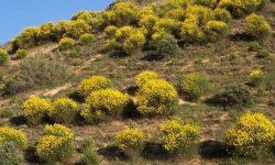 Spartium-junceum-hill