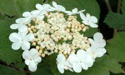 Viburnum.opulus