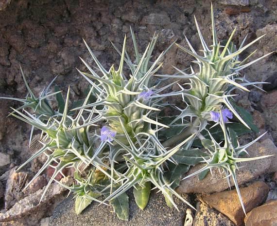 معرفی تیره ی پای خرس – Acanthaceae
