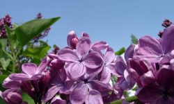 syringa.vulgaris.1025