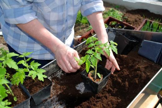 علائم شوکه شدن گیاه در اثر جابهجایی