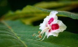 Aesculus_hippocastanum_flower