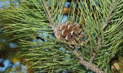 IMGP5660_Pinus_nigra_22