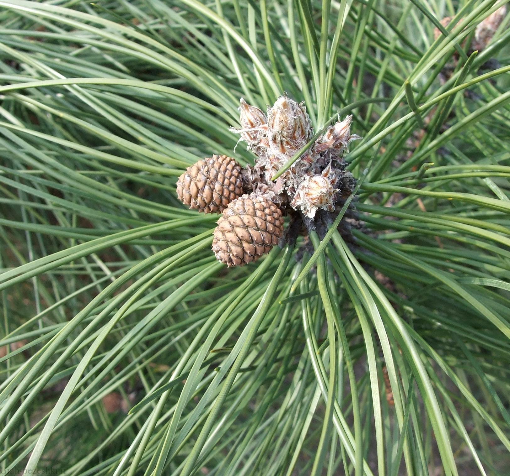 معرفی درخت کاج سیاه – Pinus nigra Arnold