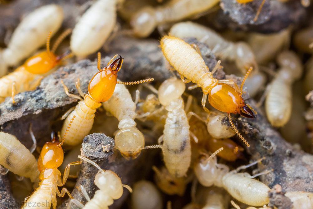 وجود موریانه در مالچ ارگانیک و آلی و روش های مقابله با آن