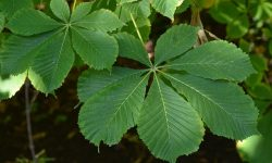 aesculus-hippocastanum-baumannii-leaves