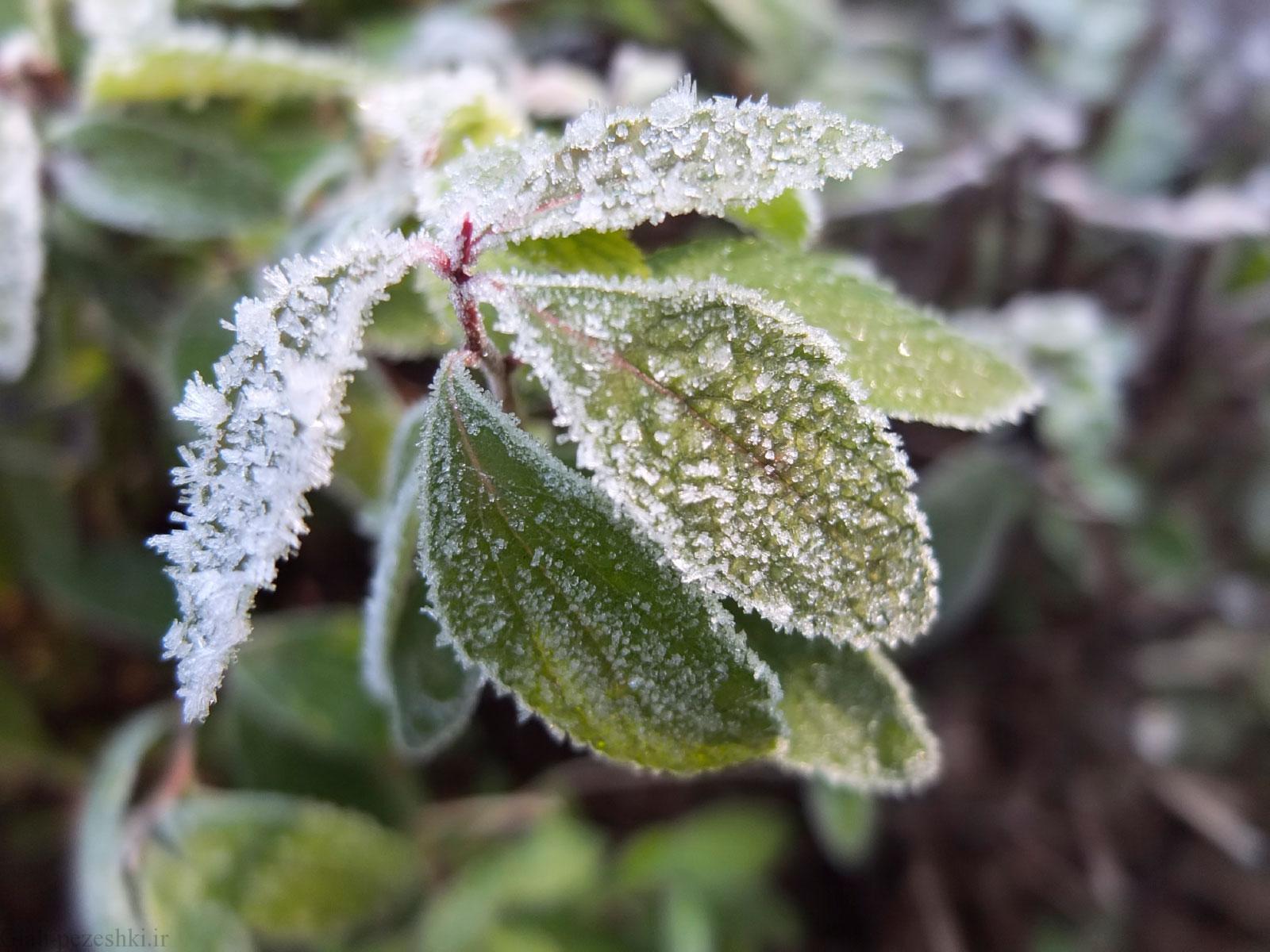 خسارت های سرمازدگی گیاهان و روش های جلوگیری از آن