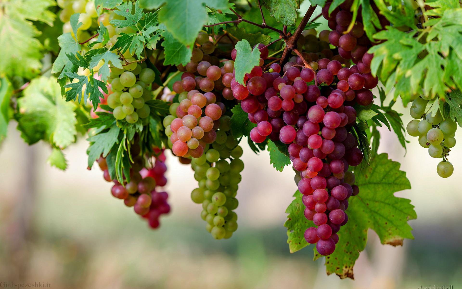 علت عدم میوه دهی مناسب درخت انگور