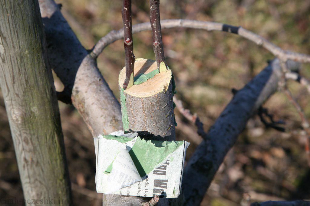 آموزش تکثیر درخت سیب به روش پیوند