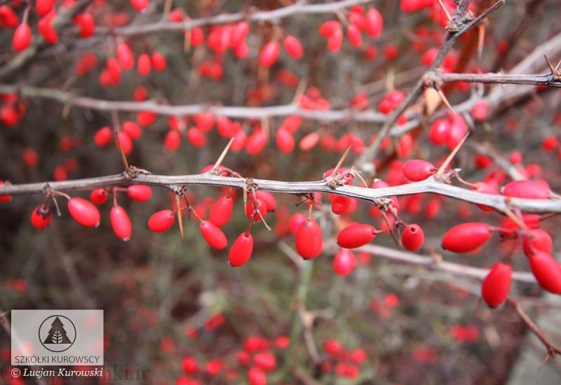 معرفی درختچه زرشک زینتی – Berberis ottawensis var. purpurea schneid
