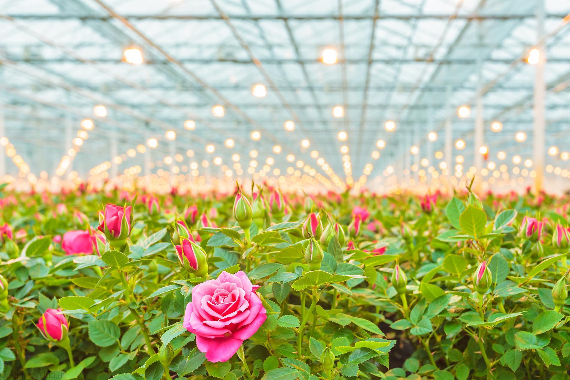 پرورش و نگهداری گل رز در تزئین فضای باز