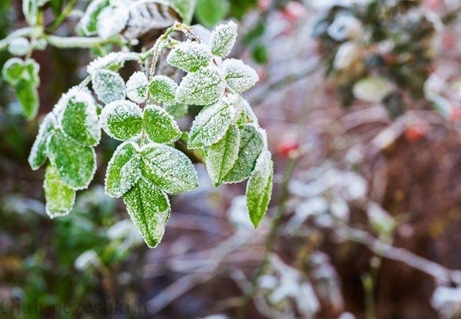 خشک شدن درختان براثر سرما و روش های جلوگیری سرمازدگی