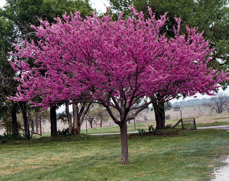 کاشت، پرورش و مراقبت از درخت ارغوان
