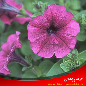 راهنمای جمع آوری بذرهای گل اطلسی Petunia hybrida