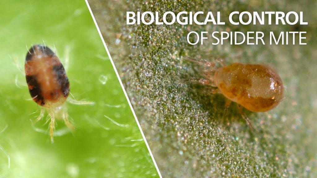 کنترل بیولوژیک : معرفی کنه ی شکارگر Neoseiulus californicus