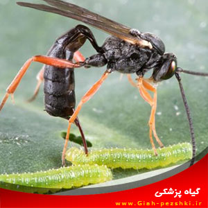 کنترل بیولوژیک : نحوه جذب حشرات مفید به مزرعه و گیاهان