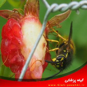 دلایل مفید بودن زنبورهای شکارگر Wasps در مزرعه