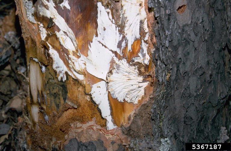 پوسیدگی آرمیلاریایی ریشه