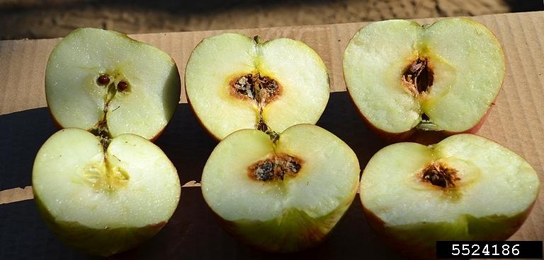 پوسیدگی آلترناریایی سیب و گلابی