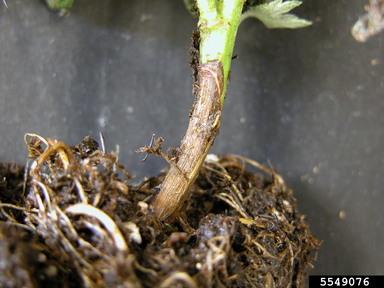 گیاهچه میری مرکبات
