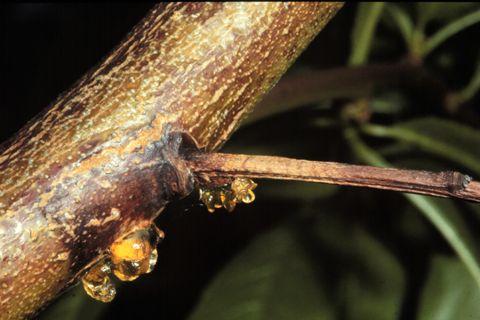بیماری دارخور درختان سیب (شانکر لوکوستومایی) و مبارزه با آن