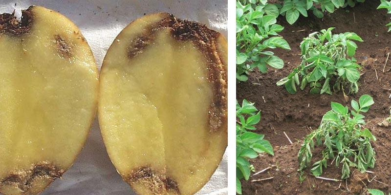 پژمردگی باكتریایی سیب زمینی