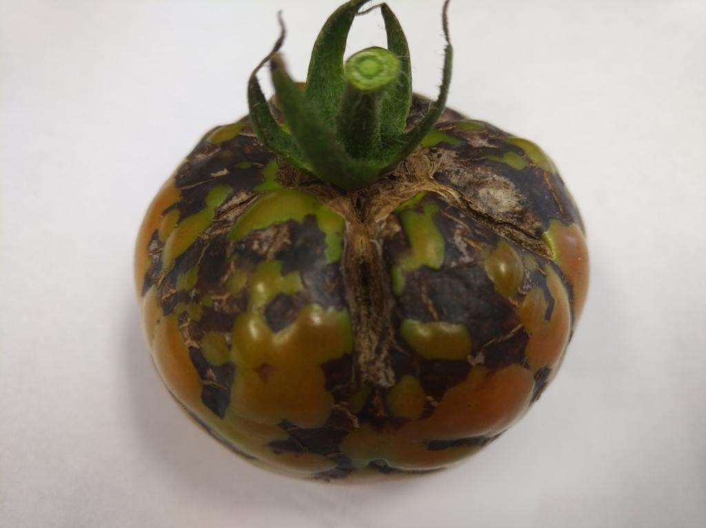 بیماری ویروسی – پژمردگی لکه ای گوجه فرنگی Tomato Spotted Wilt Virus (TSWV)