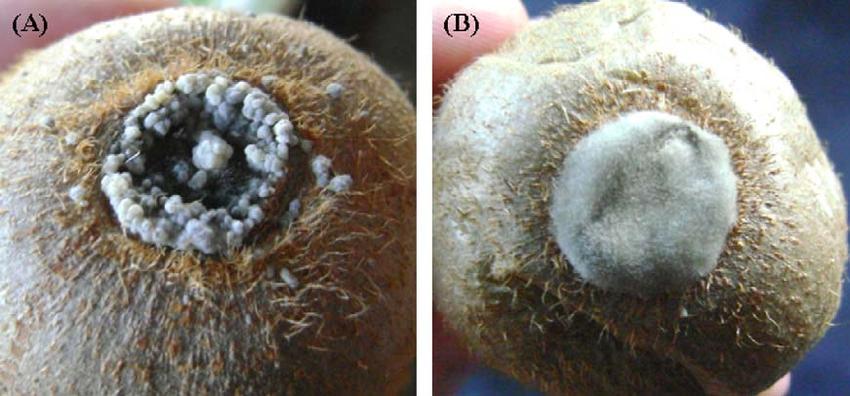 بیماری کپک خاکستری میوه کیوی و نحوه مبارزه با آن