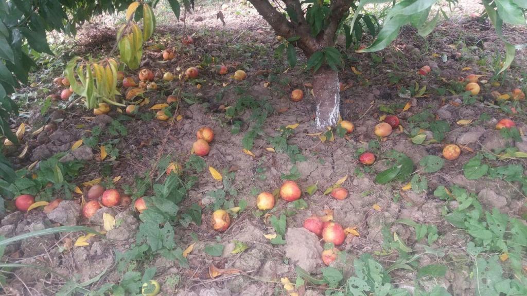 ریزش شدید میوه های هلو در باغات شمال کشور، براثر خسارت شدید مگس میوه مدیترانه ای