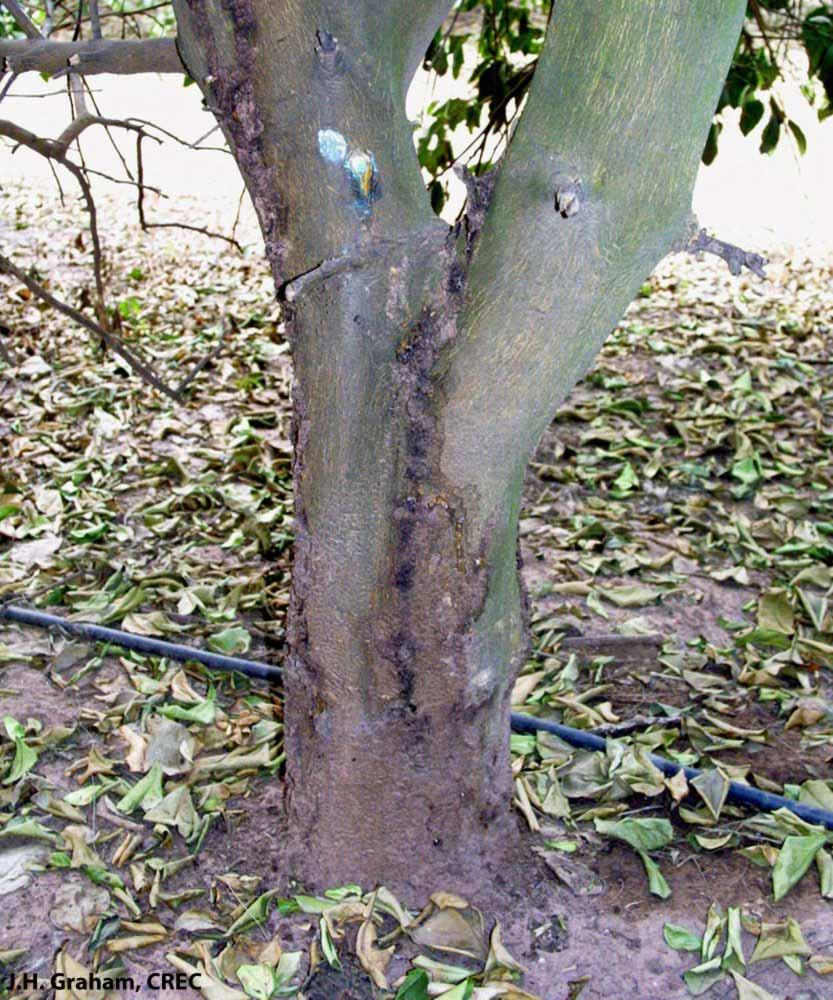 فیتوفترا در مرکبات - درخت لیمو