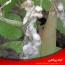 شناسایی و کنترل بیماری کپک سفید لوبیا