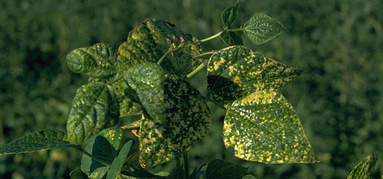 بیماری ویروس معمولی لوبیا (BCMB) و کنترل آن