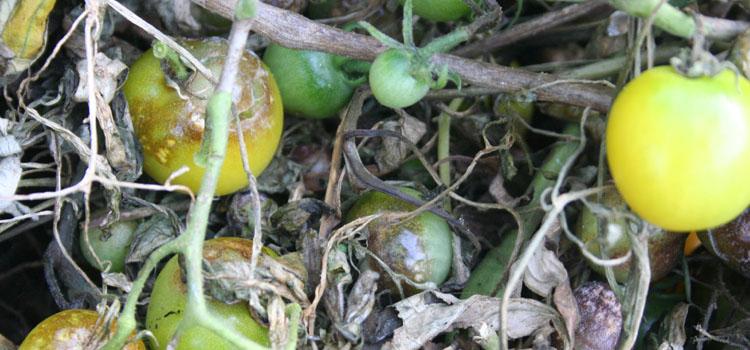 شناسایی و کنترل بیماری بادزدگی فیتوفترایی سیب زمینی و گوجه فرنگی