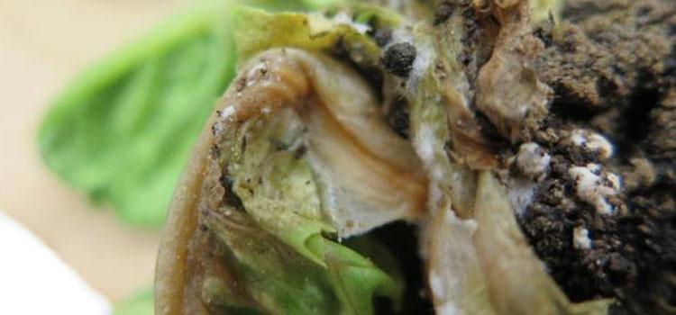 شناسایی و کنترل بیماری قارچی پوسیدگی نرم کاهو