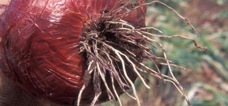قارچی ریشه صورتی (سرخ) پیاز