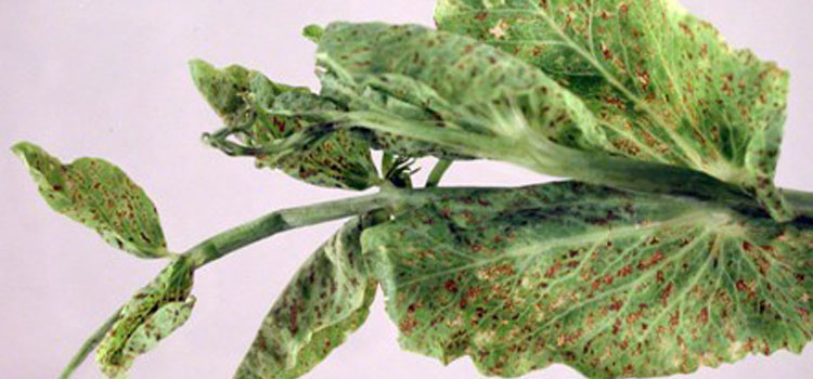 شناسایی و کنترل بیماری ویروسی موزاییک توته ای نخود فرنگی