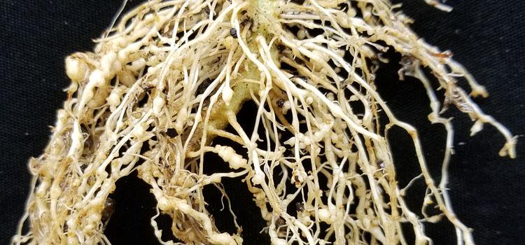 شناسایی و کنترل خسارت نماتد مولد گره ی ریشه کرفس
