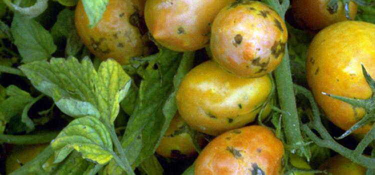 ویروس پژمردگی لکه ای گوجه فرنگی
